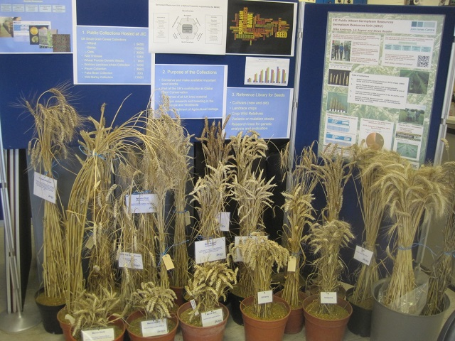 A display of the history of wheat cultivation.