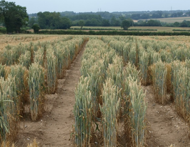 Cadenza wheat TILLING lines growing at Church Farm.