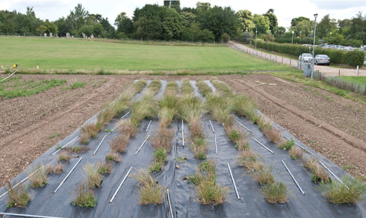 Field regeneration of <i>Aegilops</i> accessions from the GRU Triticeae collection.
