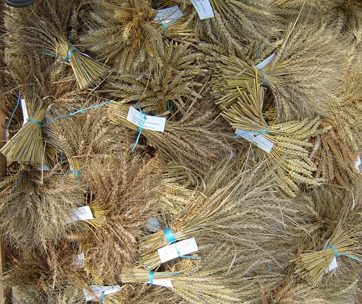 Bunches of hand harvested GRU wheat accessions.